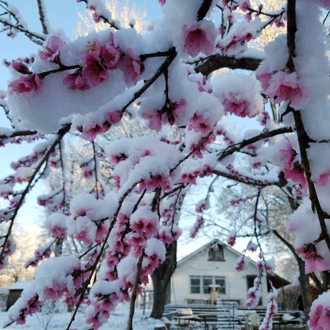 CBL Snow on Peach Blossoms
