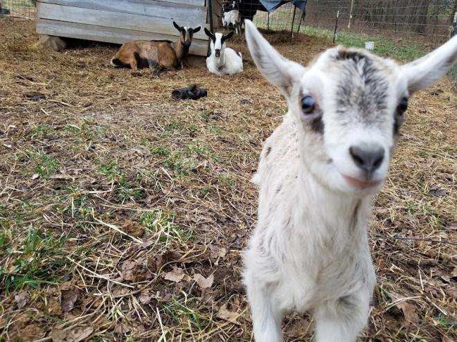 Goat10